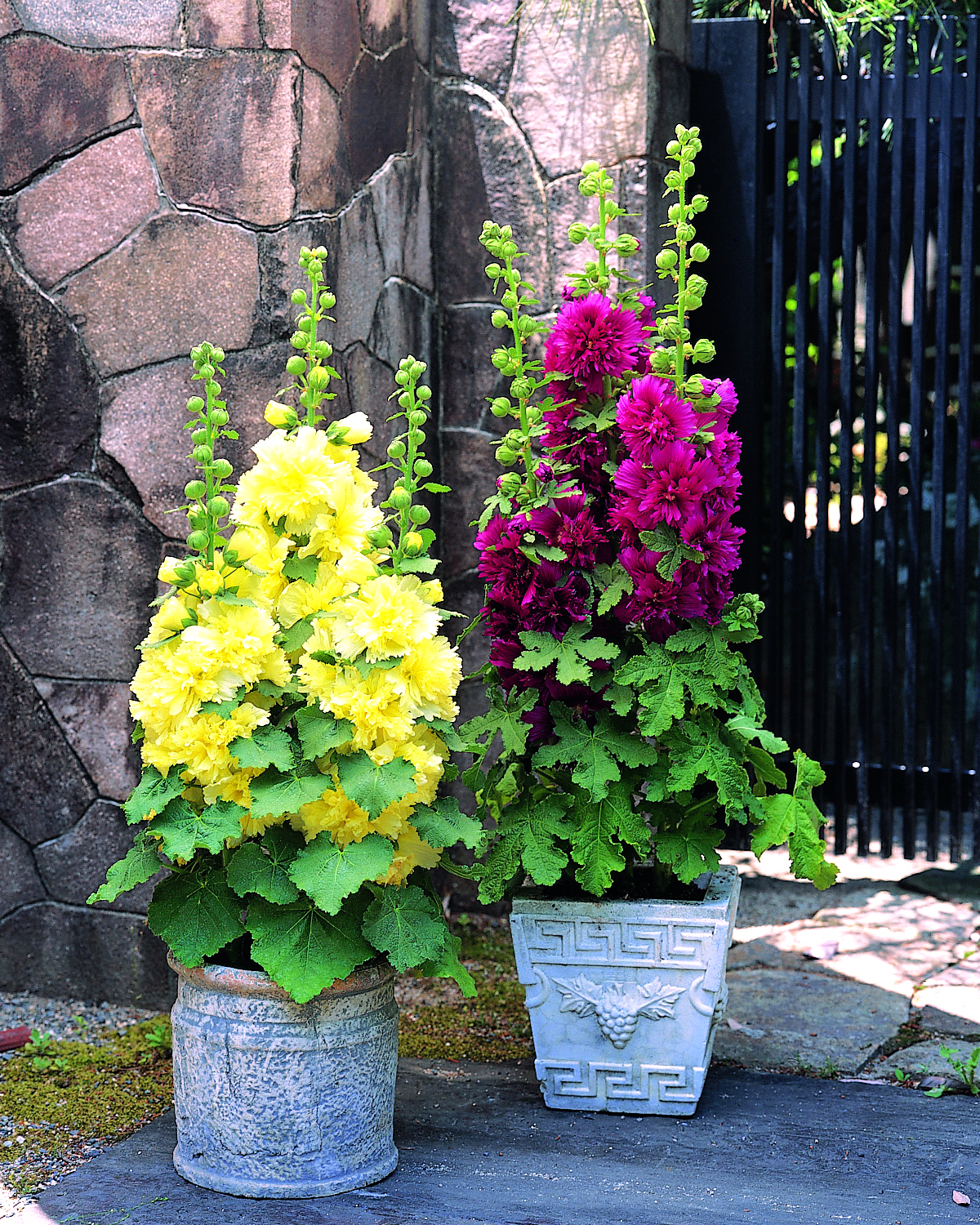 Plants additionally Ourdoor Garden further A4 22 06 20300001045622130690067884205 besides To April With Love also AlceaHaloPeach. on growing hollyhocks