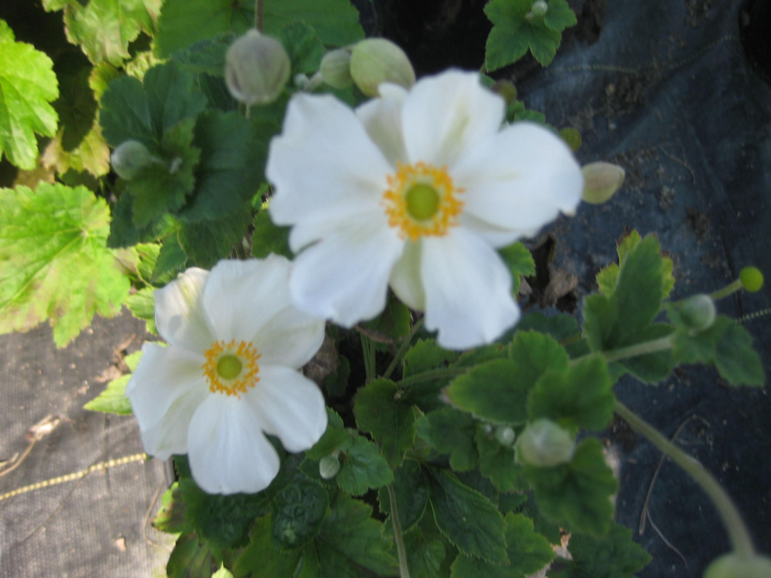 Premier plant solutions anemone h honorine jobert large white flowers with yellow mightylinksfo