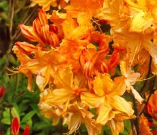 Lovely Golden Lights Exbury Azalea