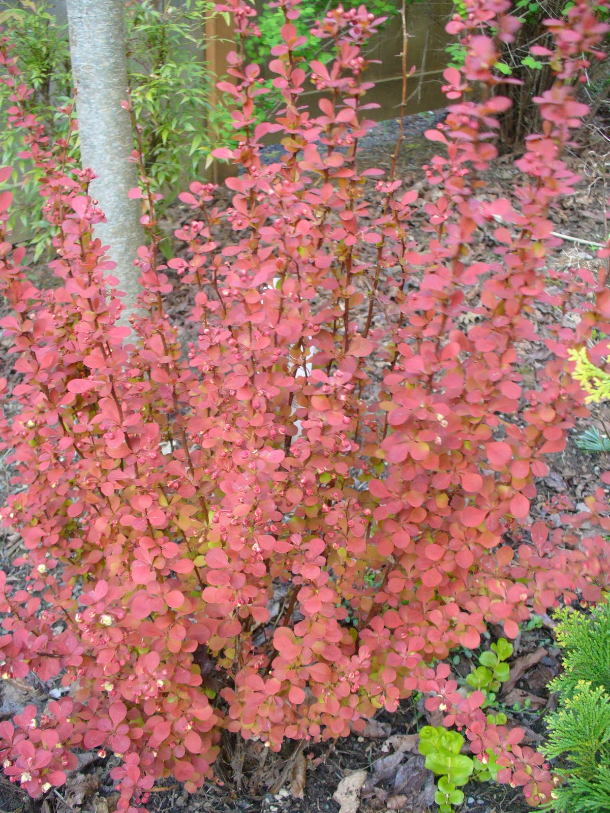 Orange Rocket Barberry in Winter http://www.willowaynurseries.com/detail.php?recordID=6506