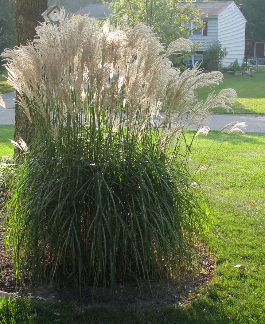 Premier plant solutions for Maiden fountain grass