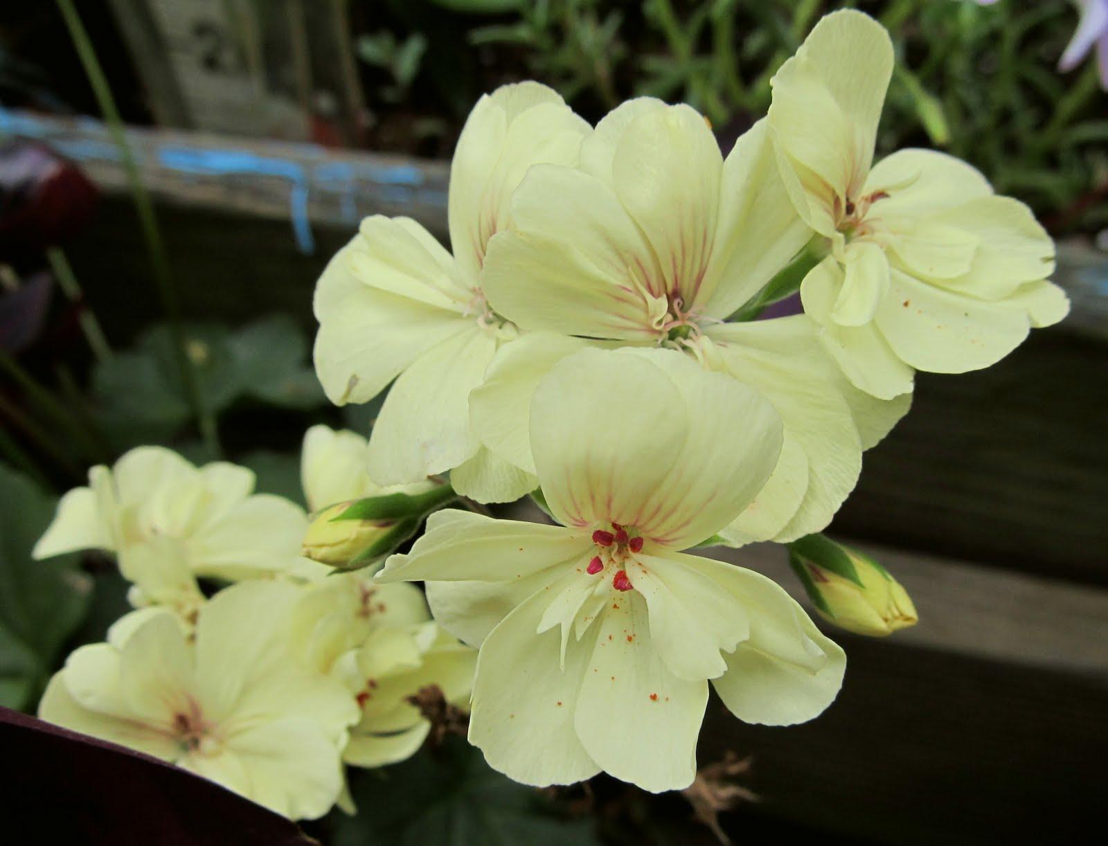 Geranium First Yellowg