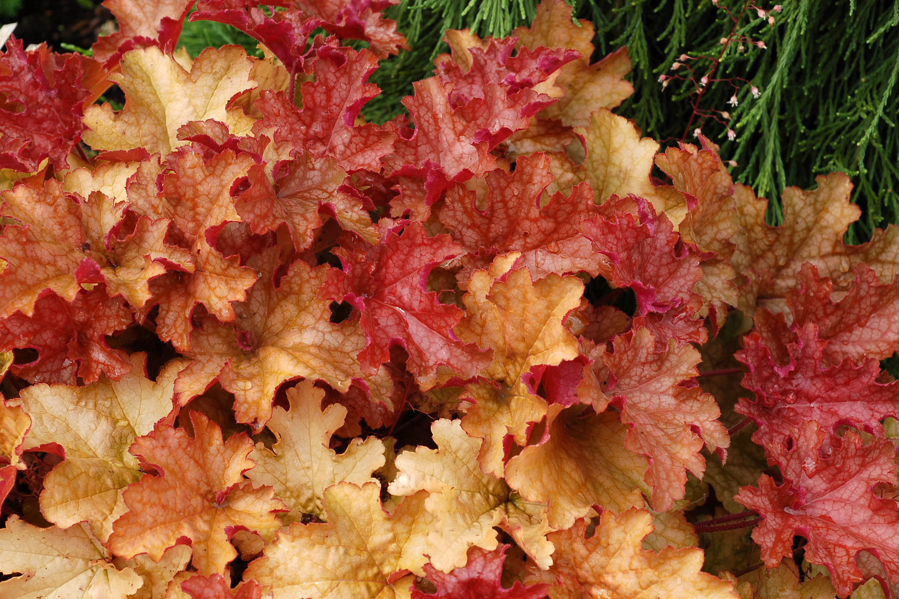heuchera ginger peach ginger peach coral bells