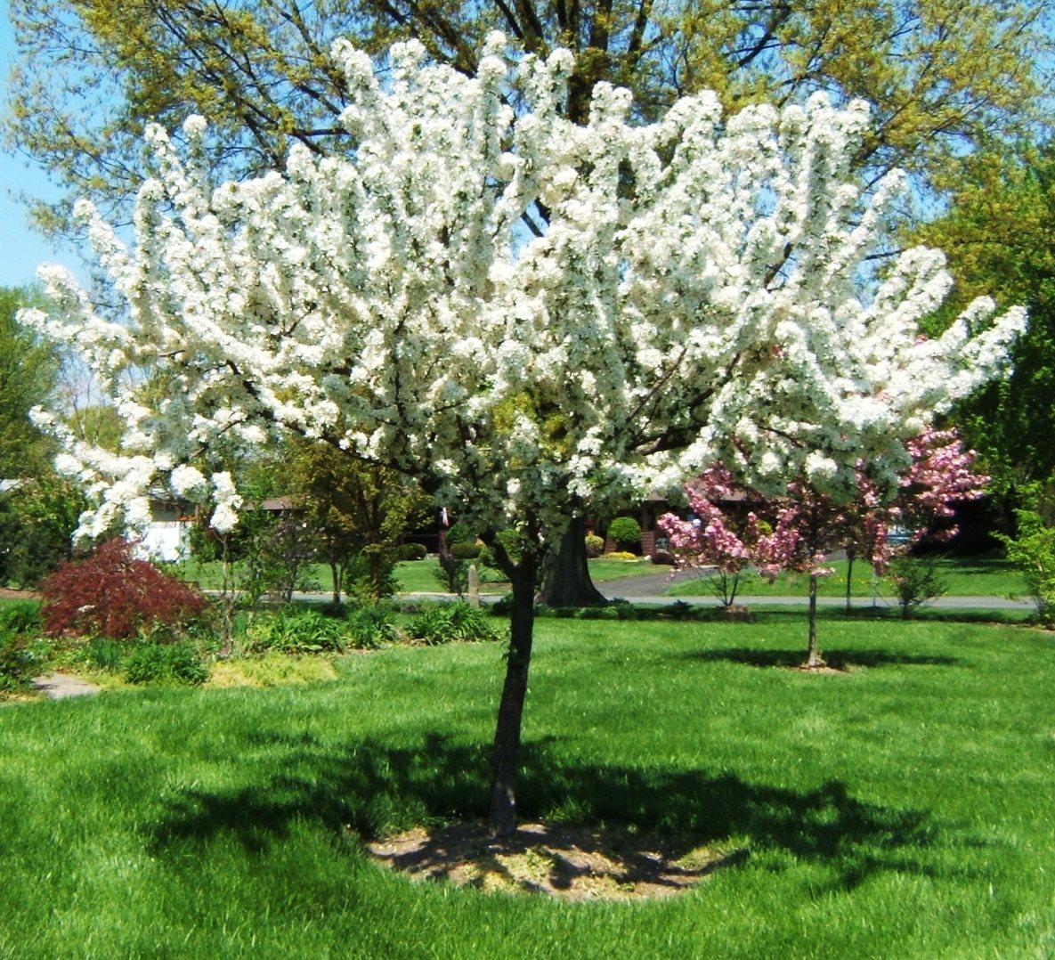 Small Ornamental Trees For Kansas: MALUS ZUMI CALOCARPA.jpg (1185×1078)