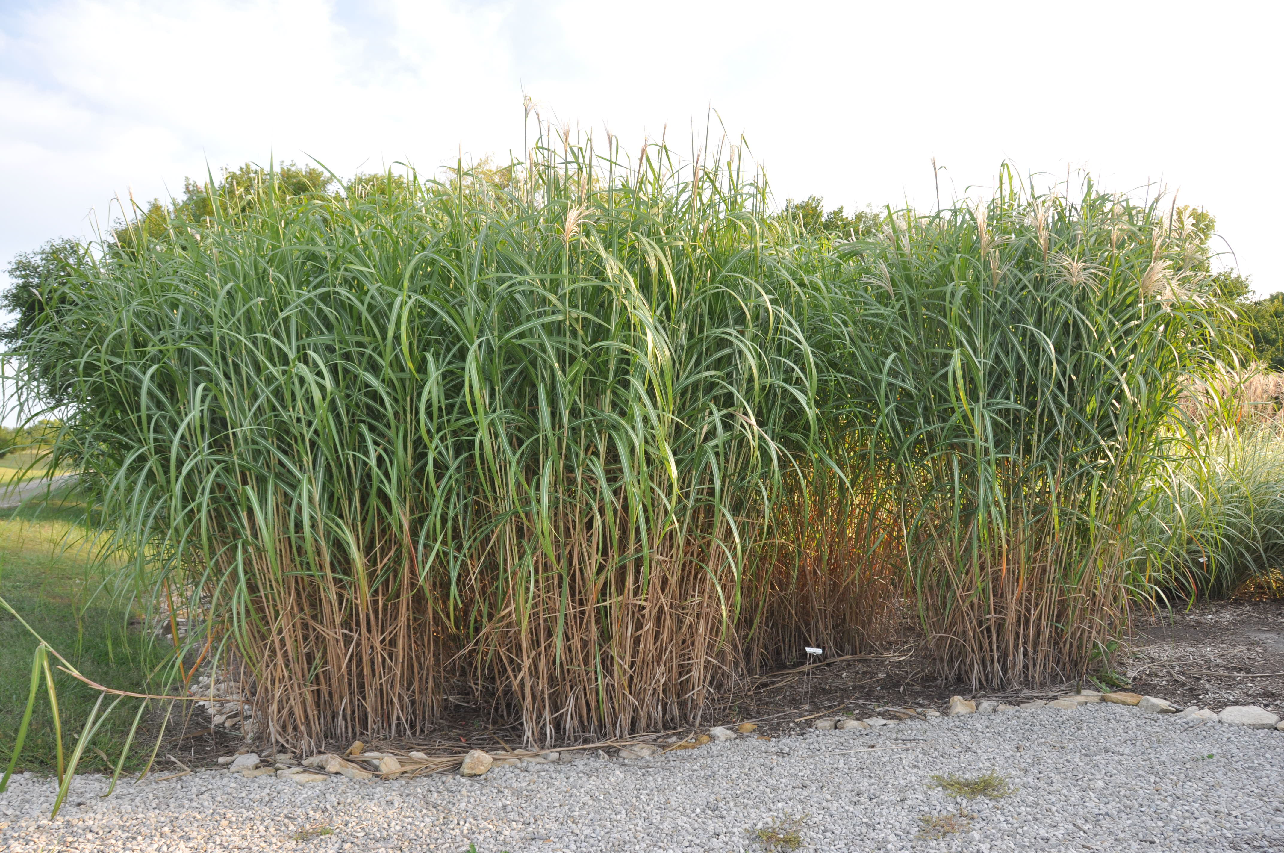 Willoway nurseries inc the midwest 39 s premier wholesale for Giant ornamental grass