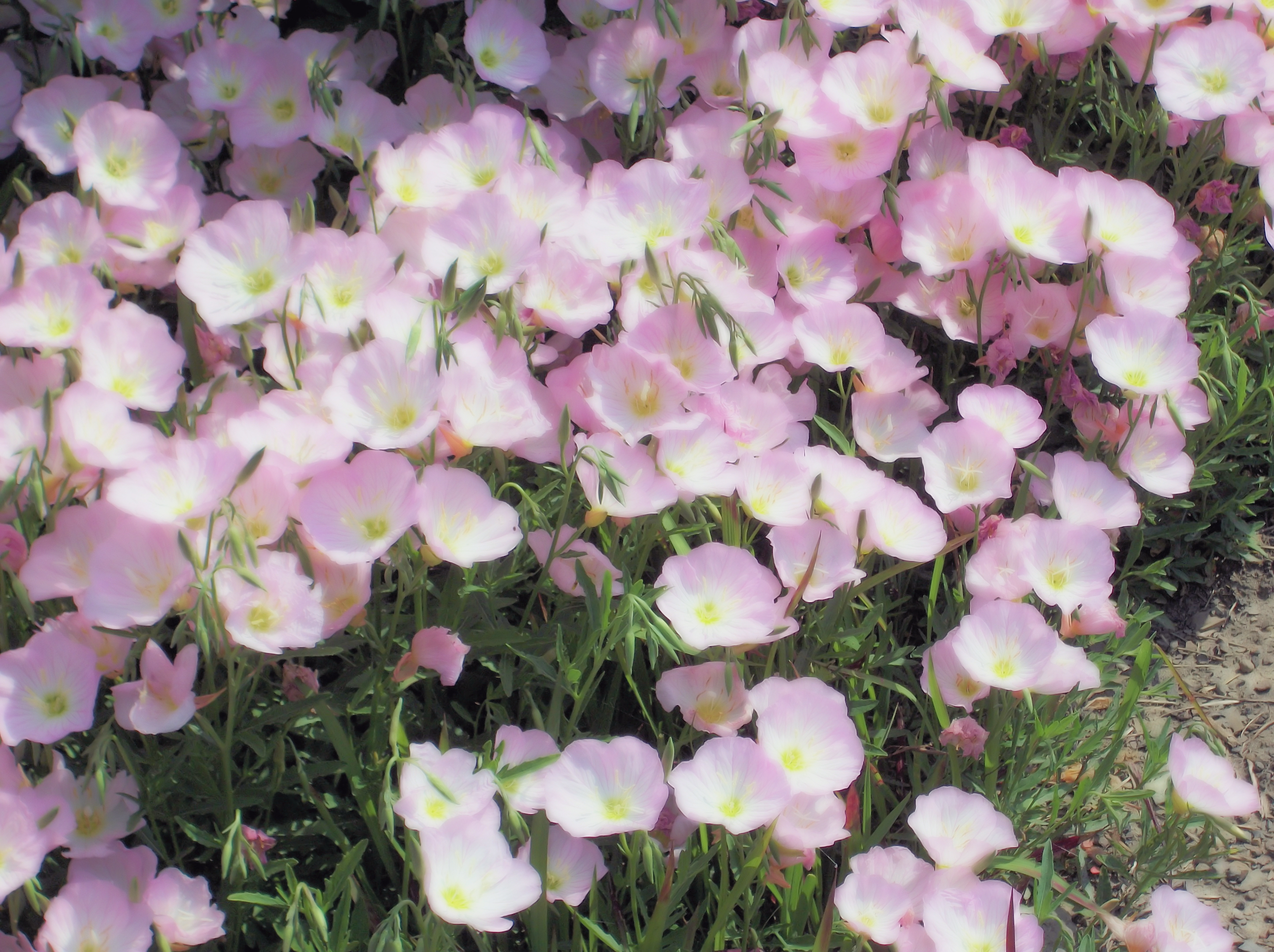 Oenothera Berlandieri Siskiyou together with Hqdefault besides Bowhunting Father And Son likewise Deer Hunting Accessories For Spring Wildlife Habitat Projects Feature likewise Funny Pictures One Deer Uses A Tann. on oh deer