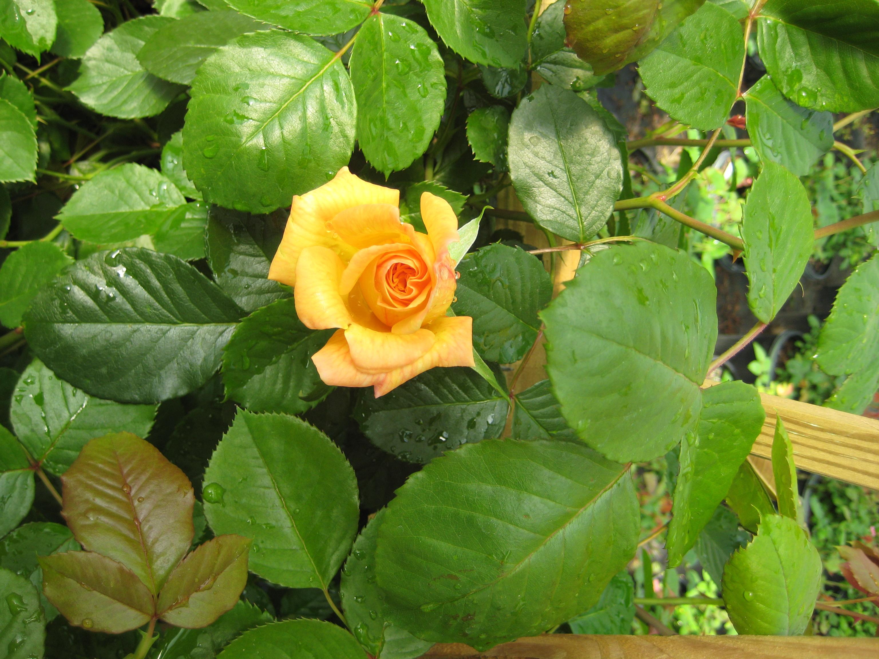 Garden Sun Climbing Rose