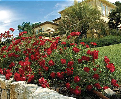 rose red drift red drift groundcover rose