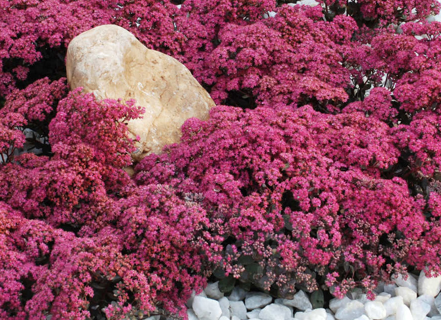 Gallery For gt Red Sedum Ground Cover Plants