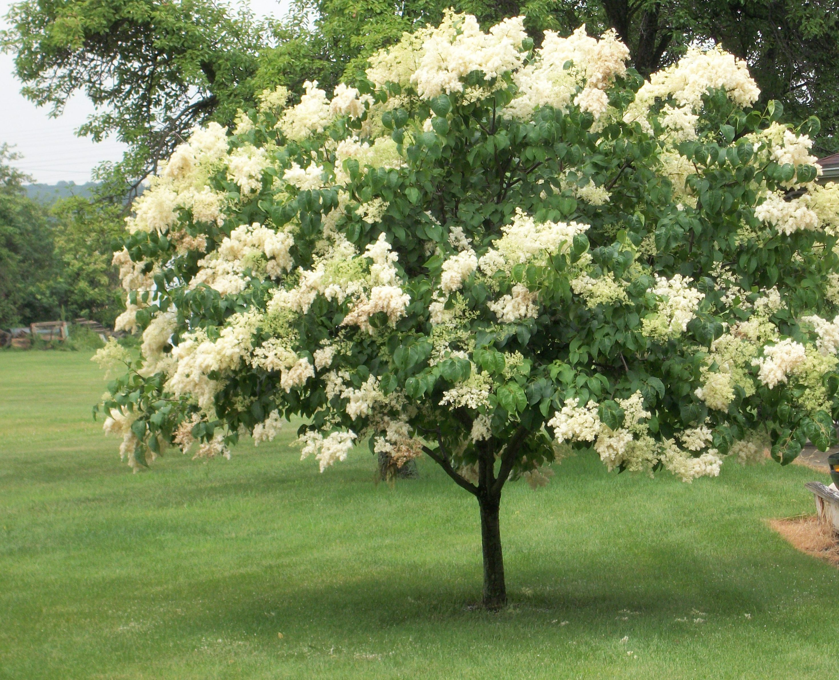Syringa for Arboles florales para jardin