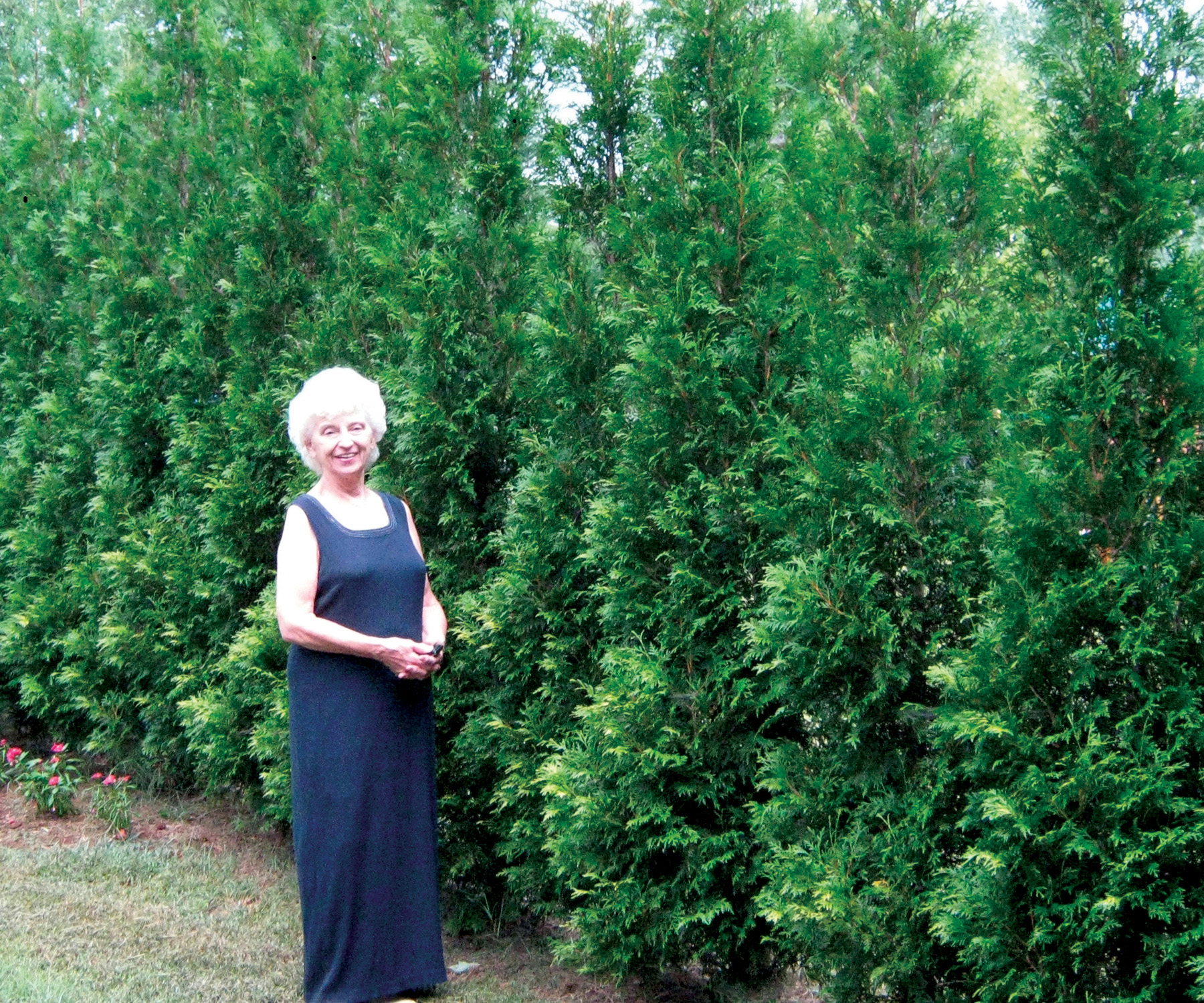 Thuja o american pillar selected for its fast growth rate