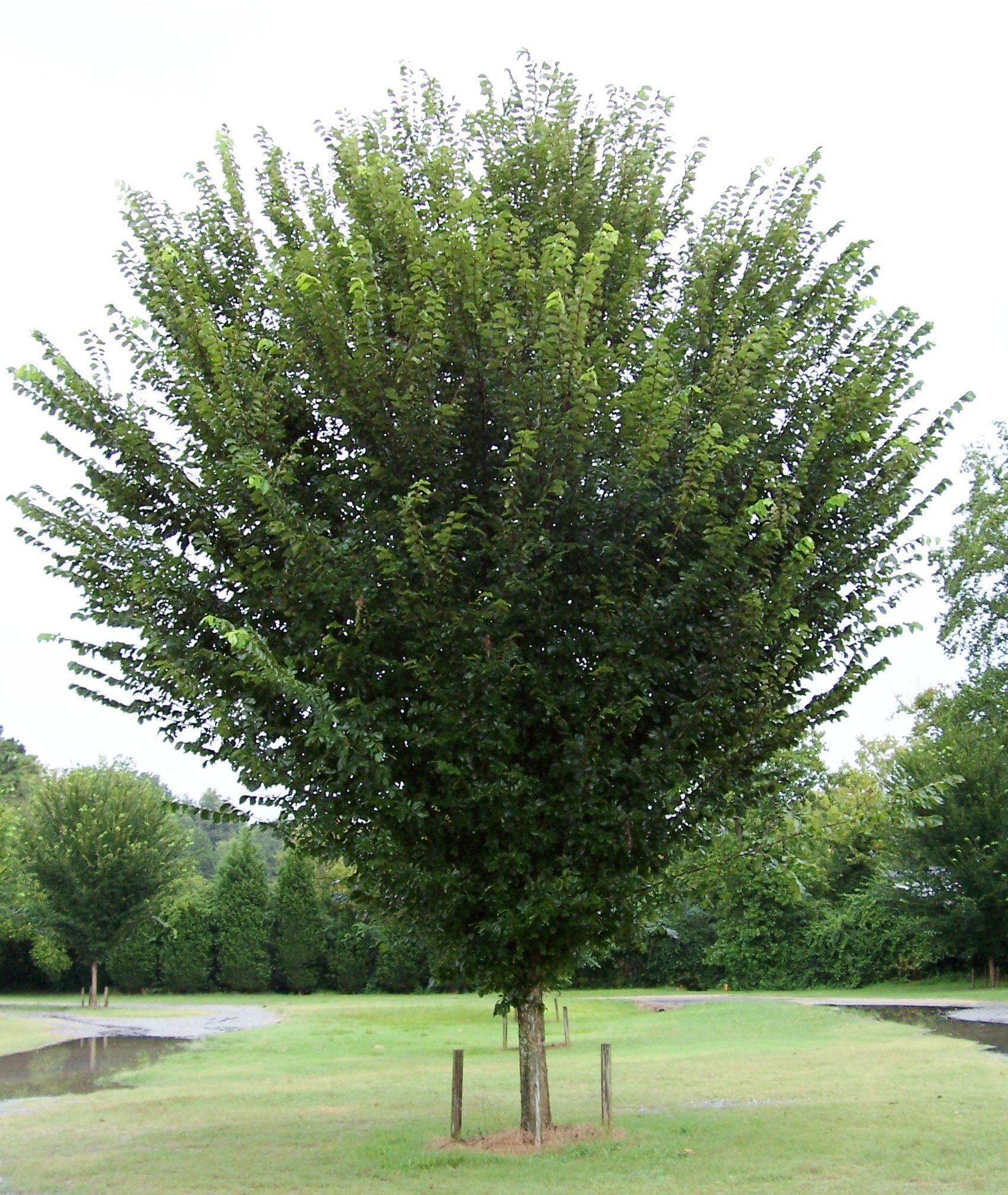 Willoway nurseries inc the midwest 39 s premier wholesale for American elm