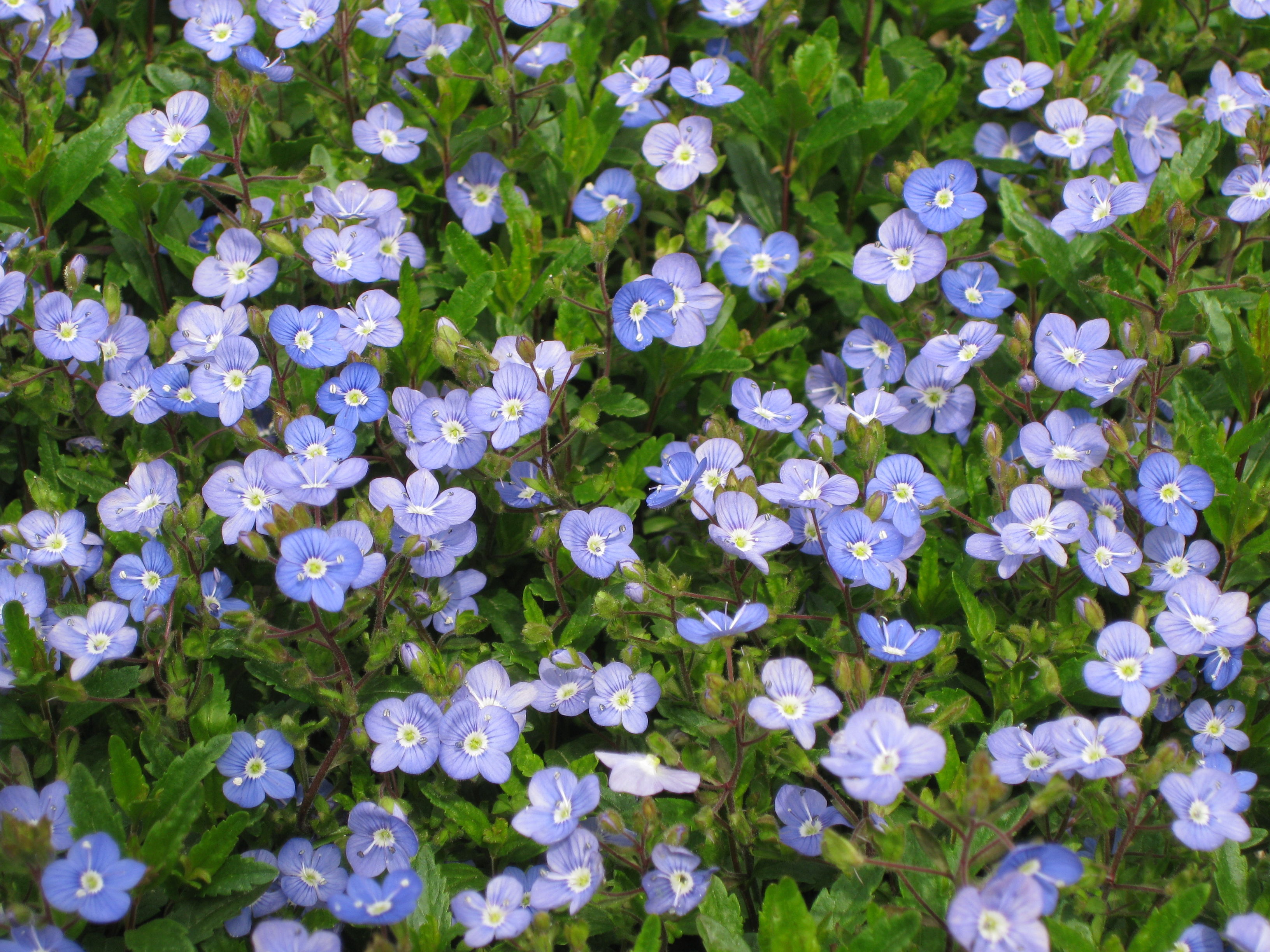 Premier plant solutions awesome blue flowers cover this evergreen groundcover izmirmasajfo