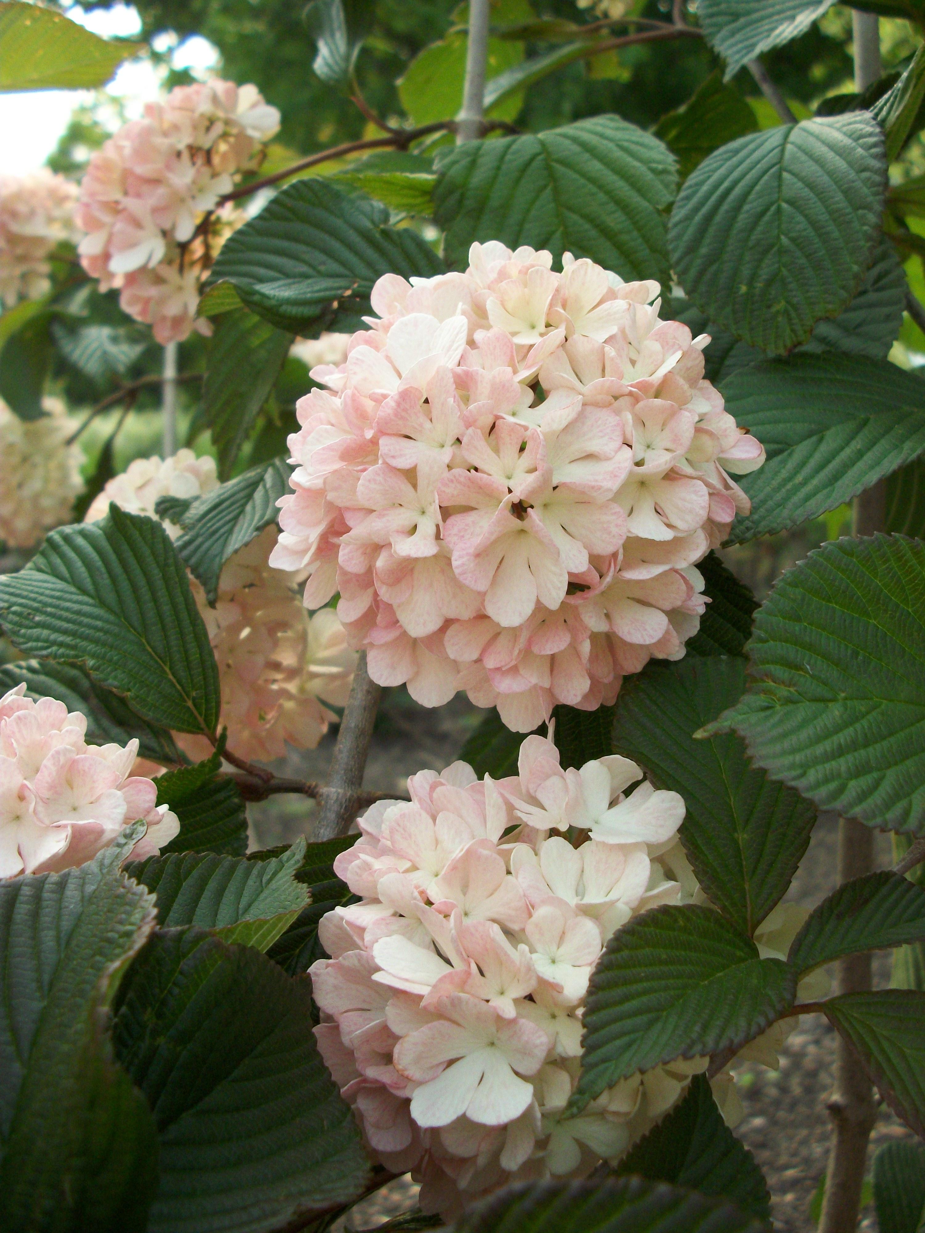 Willoway nurseries inc the midwests premier wholesale grower viburnum pt sprklg pnk champagne mightylinksfo