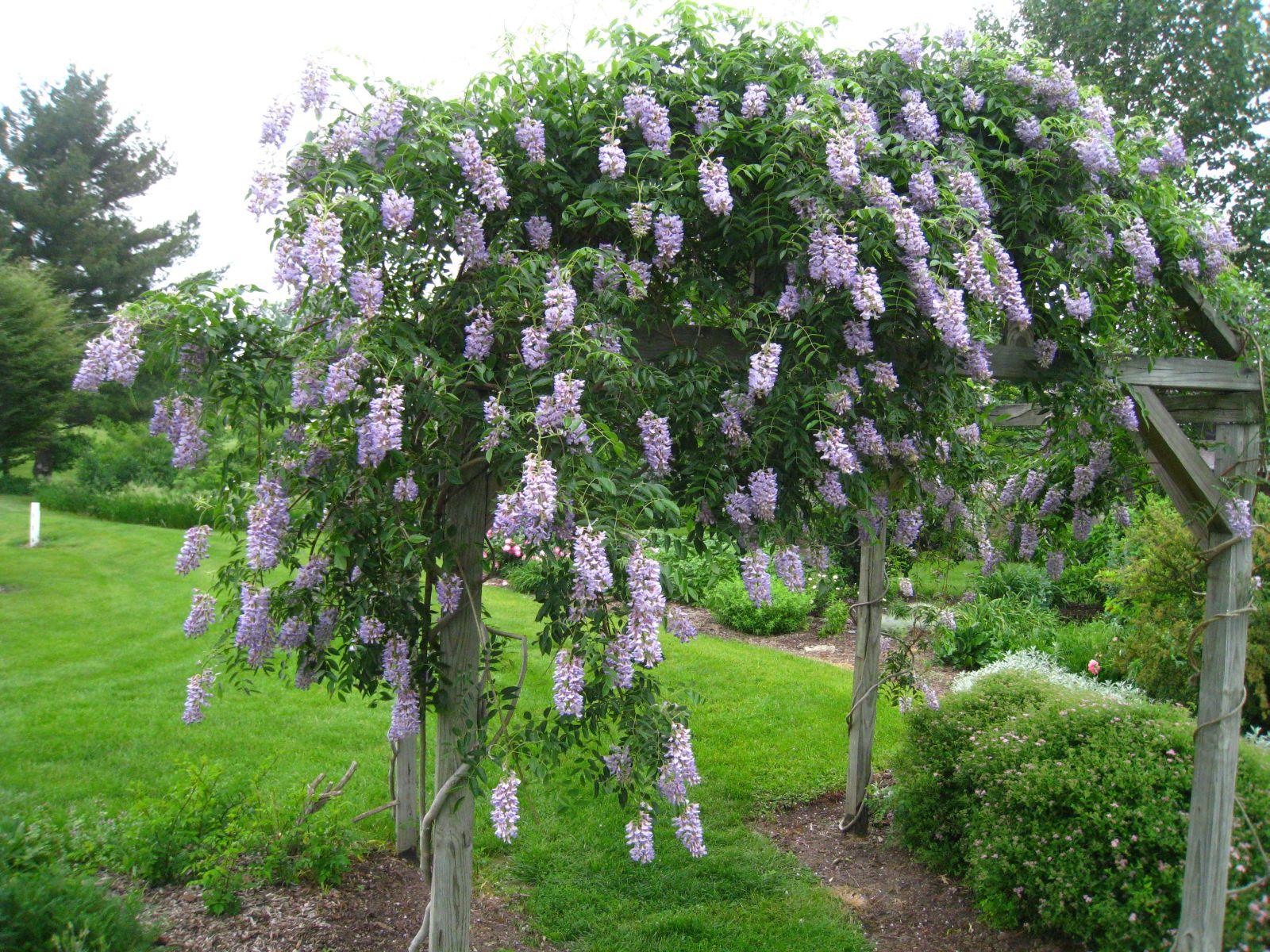 Wisteria blue for The wisteria