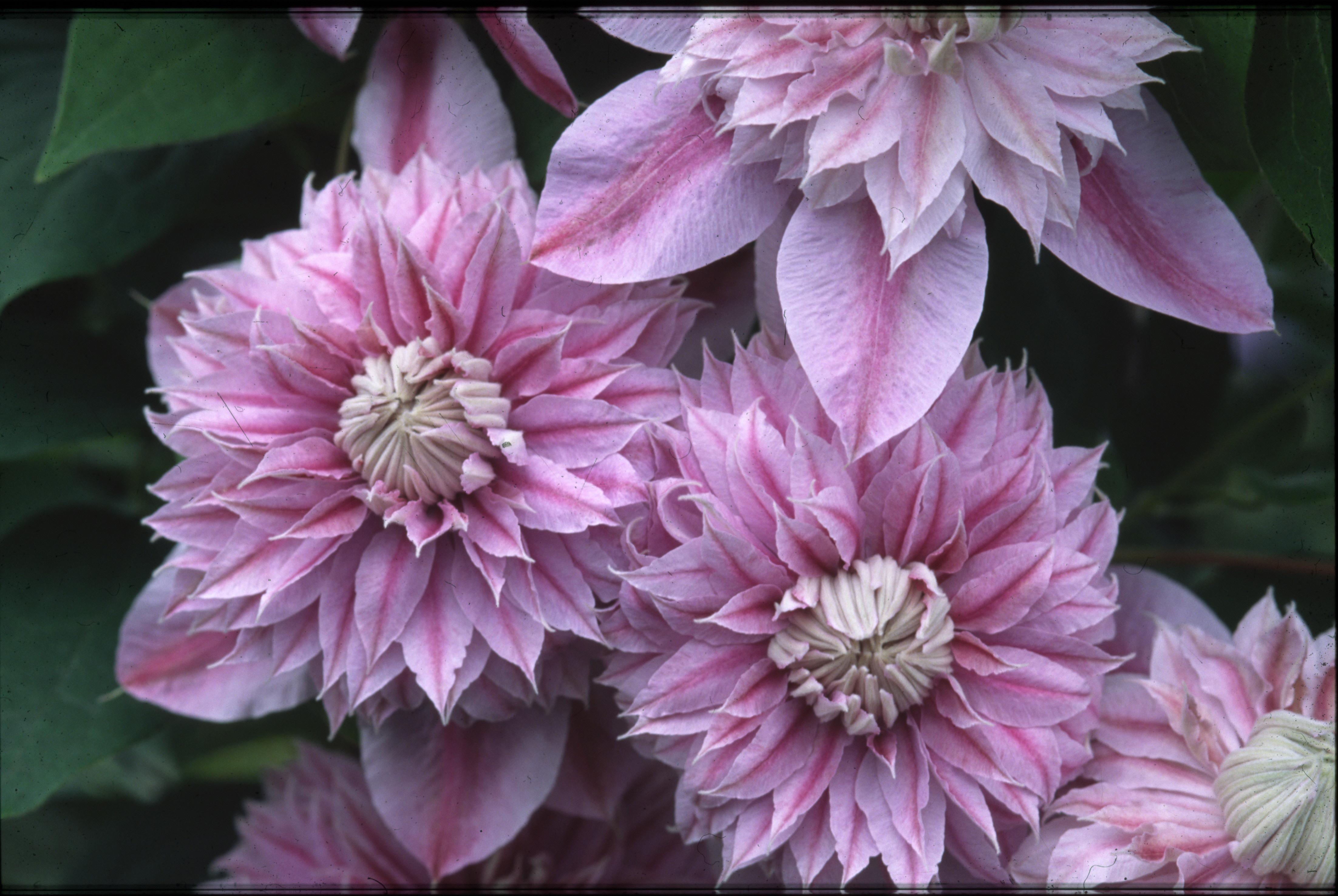clematis Josephine 4408×2952 Fall Flower Guide