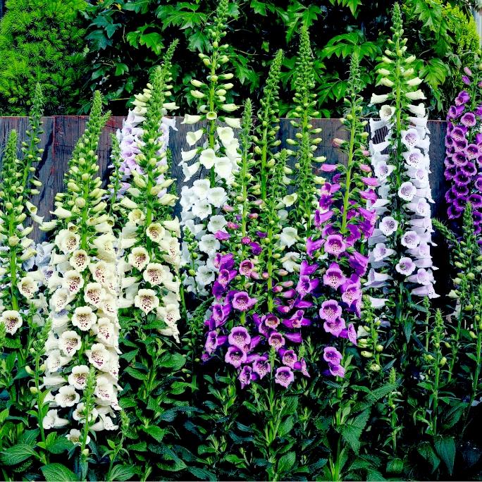digitalis camelot lavender jpg home digitalis camelot lavender jpg ...