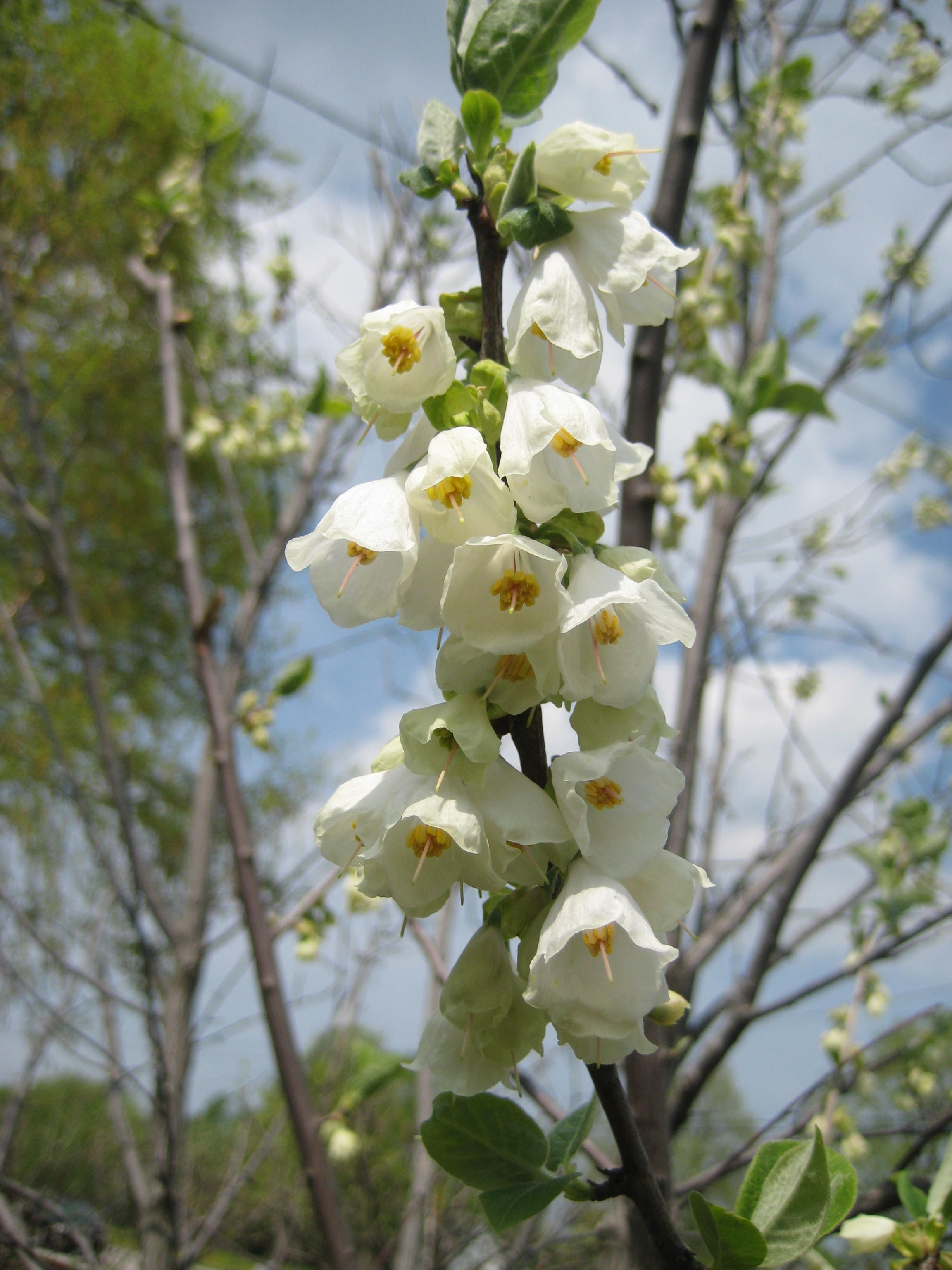 Halesia carolina flwrg show the image in full size mightylinksfo
