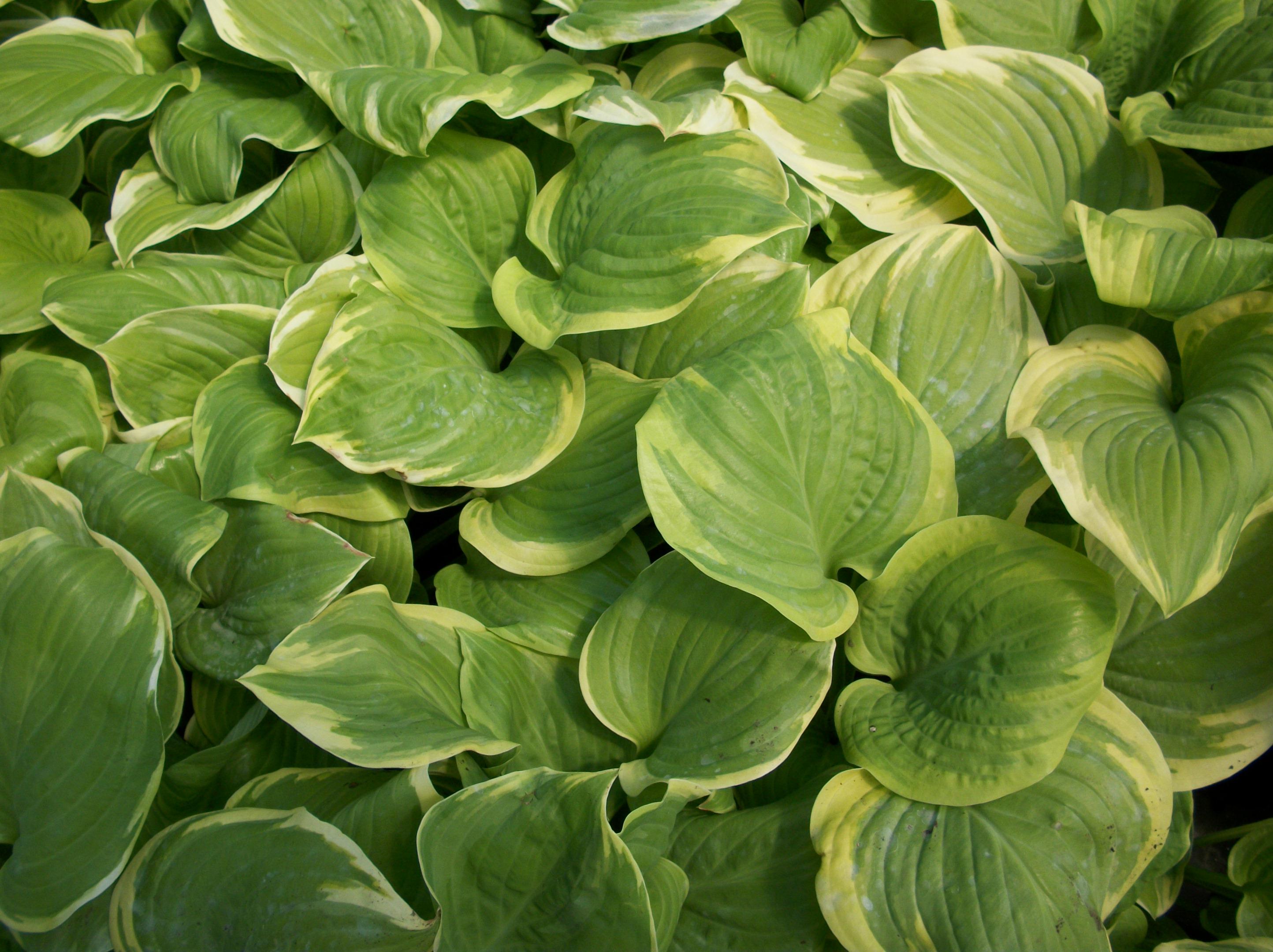 Premier plant solutions fragrant bouquet plantain lily izmirmasajfo