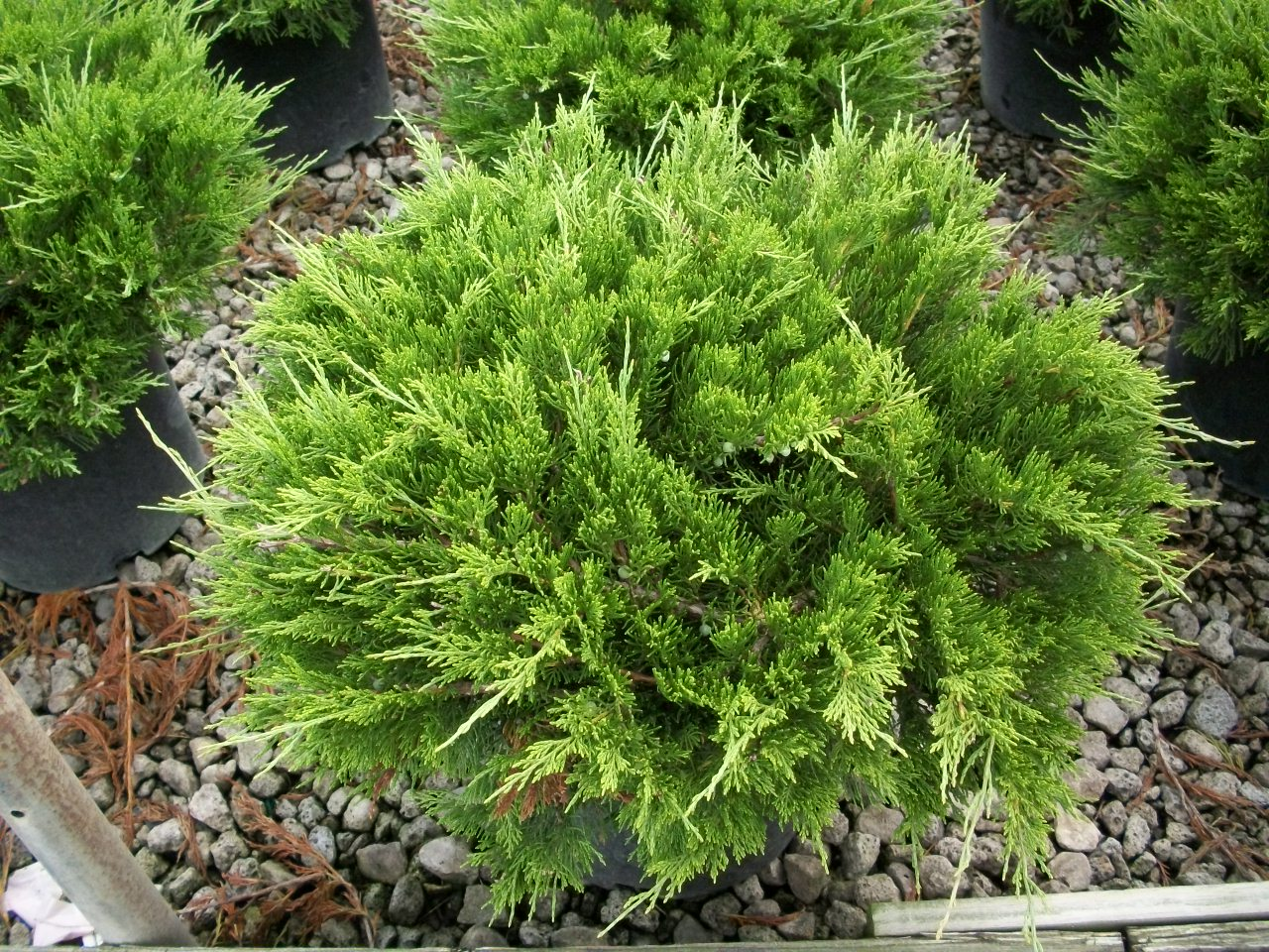 Premier plant solutions for The juniper