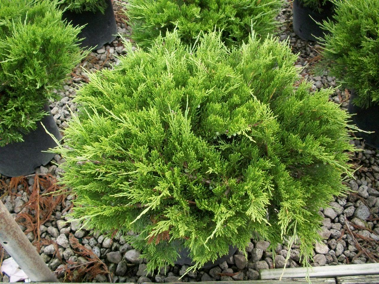 Premier plant solutions for The juniper