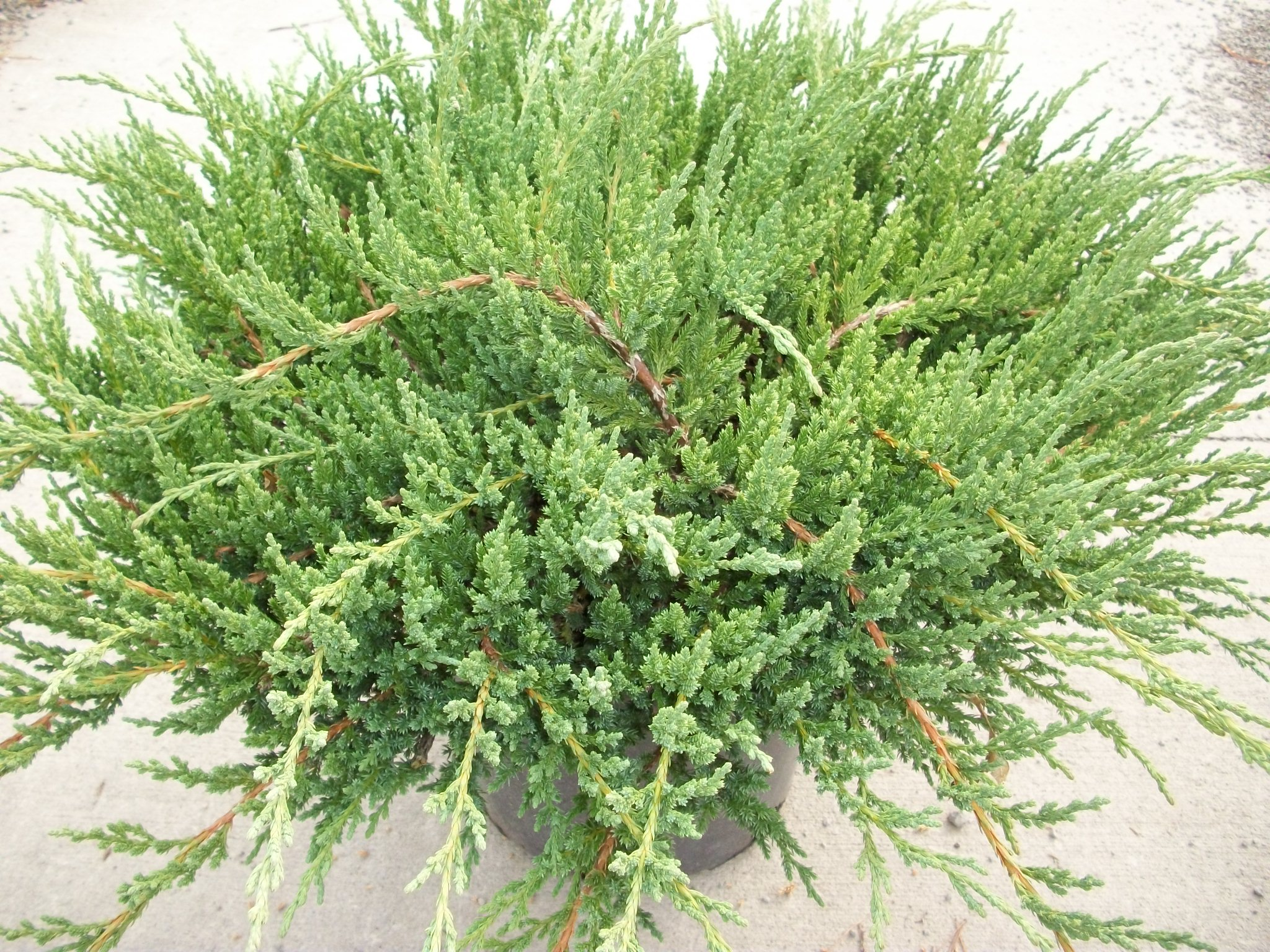 Willoway nurseries inc the midwest 39 s premier wholesale for The juniper