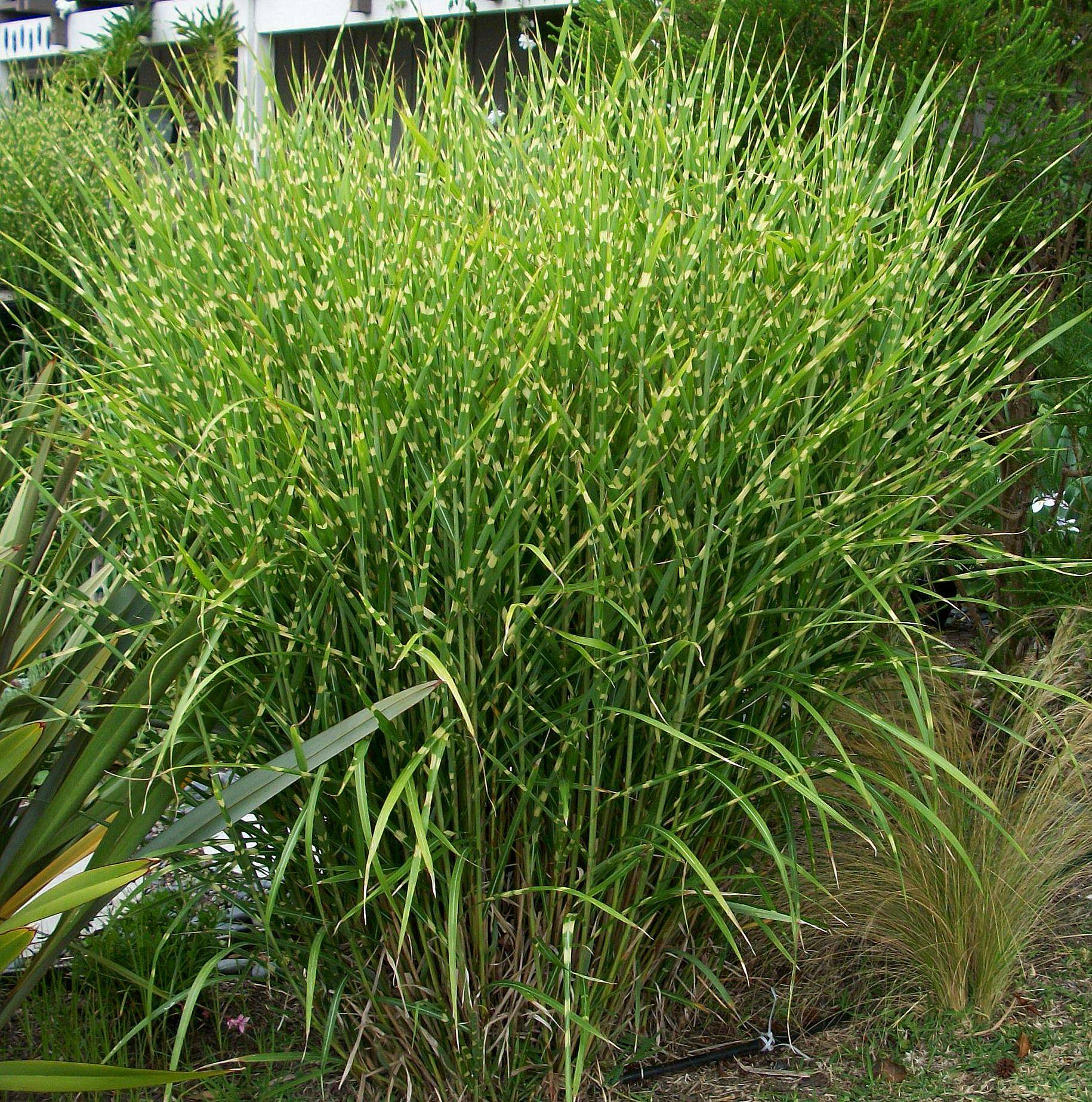 Willoway nurseries inc the midwest 39 s premier wholesale for Spiky ornamental grass
