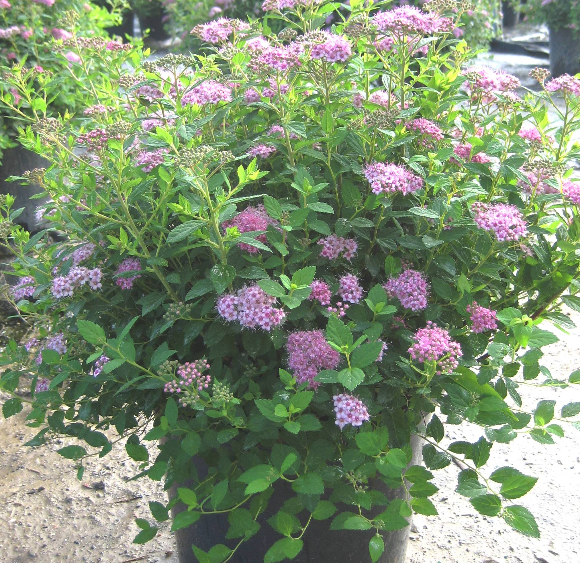 Dwarf spirea the image kid has it for Small princess