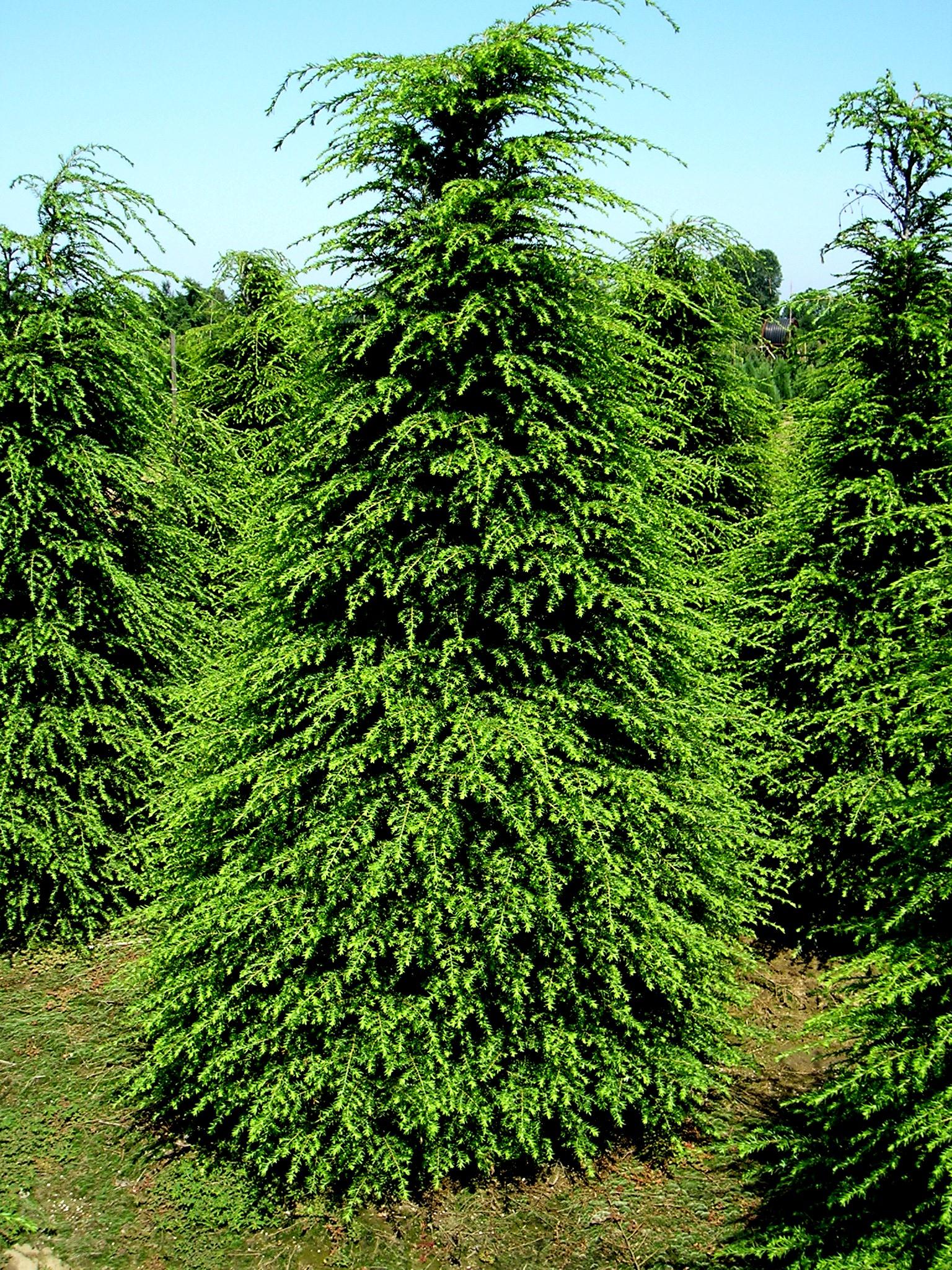 Tree Canadian, ...