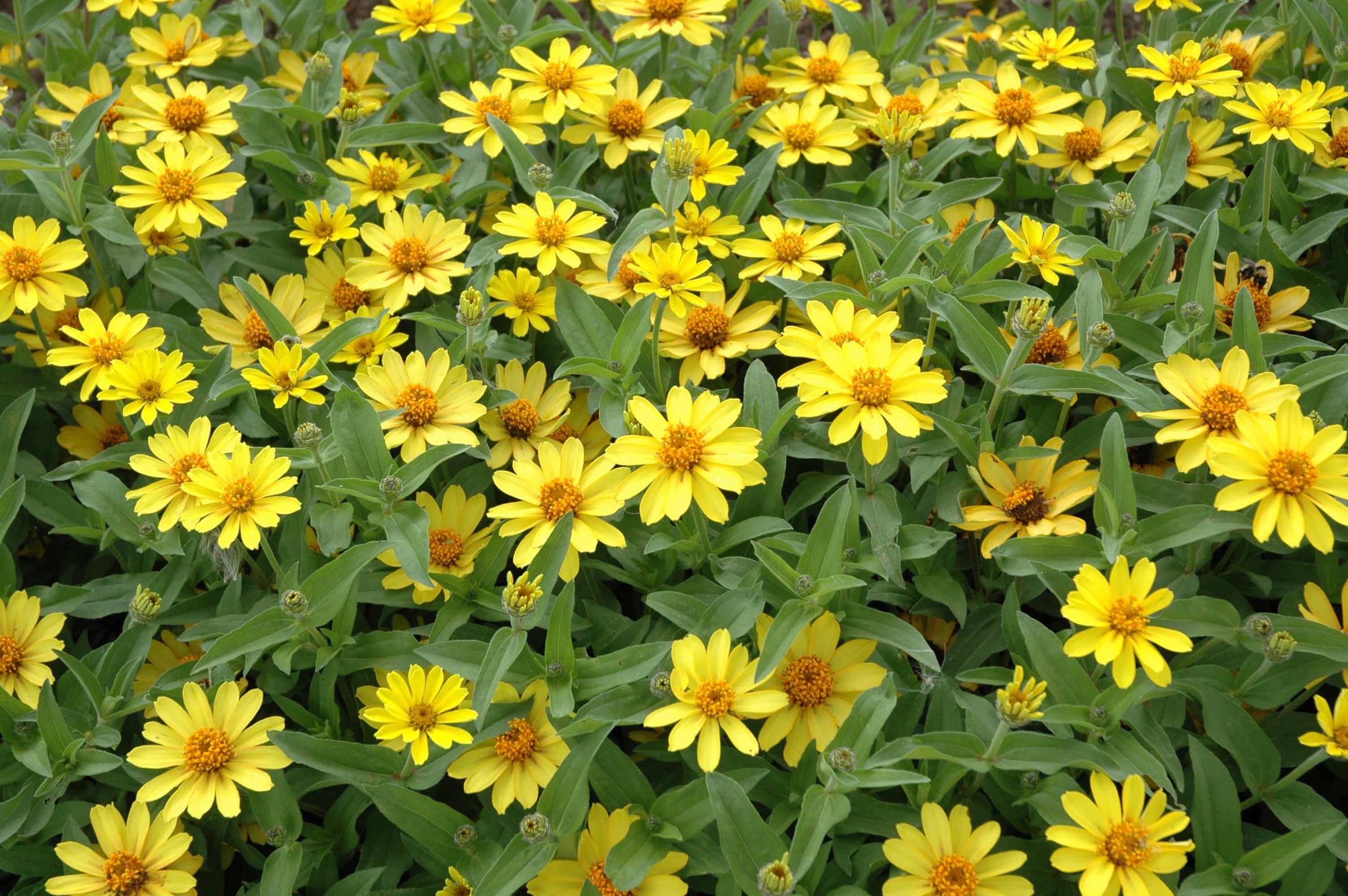 zinnia profusion yellow zinnia profusion seriesYellow Zinnia